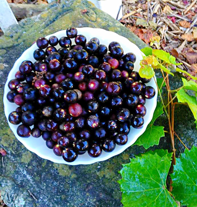 Muscadines from our backyard arbor.